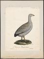 Cereopsis novae hollandiae - 1825-1834 - Print - Iconographia Zoologica - Special Collections University of Amsterdam - UBA01 IZ17600117.tif