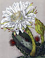 Cereus pterogonus BlKakteenT150.jpg