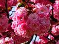 Cerisier du Japon (Prunus serrulata) (1).jpg