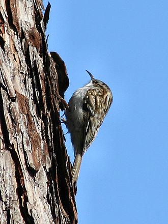 Eurasian treecreeper - Subspecies C. f. macrodactyla or C. f. familiaris