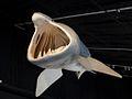 Cetorhinus maximus mouth.jpg