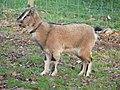 Chèvre naine - Sérent 5.jpg