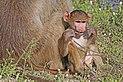 Chacma baboon (Papio ursinus griseipes) male baby.jpg