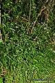 Chaerophyllum temulum plant (05).jpg