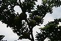 Chamaecyparis pisifera Fernspray 3zz.jpg