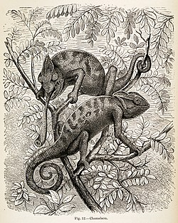 Chameleon from Animal Coloration by Frank Evers Beddard 1892.jpg