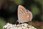 Chapman's blue (Polyommatus thersites thersites) female underside Italy.jpg
