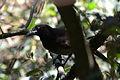 Chara Papán, Brown Jay, Cyanocorax morio (13228721374).jpg