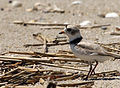 Charadrius melodus -Cape May, New Jersey, USA -adult-8 (1).jpg