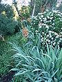 Chasmanthe floribunda.JPG
