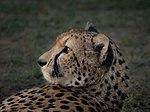 Cheetah (32081754087).jpg