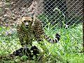 Cheetah - Hunting Leopard.jpg