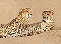 Cheetahs Chilling (43526418150).jpg