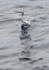 Cheilopogon melanurusPCCA20070623-3954B.jpg