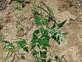 Chenopodium bryoniifolium 46353400.jpg