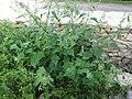 Chenopodium hybridum plant (3).jpg