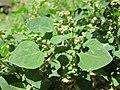 Chenopodium vulvaria inflorescence (26).jpg