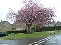 Cherry Tree at Stoodham - geograph.org.uk - 808830.jpg
