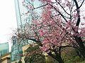 Cherry blossom in Mohri Teien.jpg