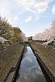 Cherry blossom near Zenpukuji river, Tokyo; March 2008 (27).jpg