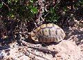 Chersina angulata (13) - Angulate Tortoise - WCNP.jpg