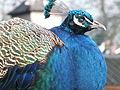 Cheshire Peacock (Pavo cristatus) 2003.JPG