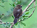 Chestnut-bellied Seed-Finch female RWD.jpg