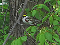 Chestnut-sided Warbler-male.jpg
