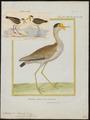 Chettusia miles - 1700-1880 - Print - Iconographia Zoologica - Special Collections University of Amsterdam - UBA01 IZ17200135.tif