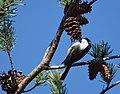 Chickadee (31623641775).jpg