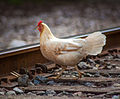 Chicken in Ybor.jpg