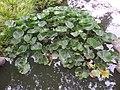 Chinese Garden - flowers in pond.jpg