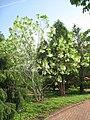 Chionanthus virginicus - Tower Hill Botanic Garden.JPG