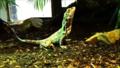 Chlamydosaurus kingii - Ménagerie du jardin des plantes - paris.png