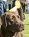 Chocolate labrador (Rosie) 1st and 3rd place (2701462414).jpg