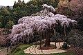 Chokozan no Shidarezakura 20080329.jpg