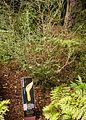 Christchurch Botanic Gardens, New Zealand section, manuka 2016-02-04.jpg