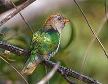 cuckoo wikipedia