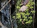 Chrysosplenium nagasei s7.jpg
