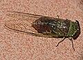 Cicada (Id ?) (23578563499).jpg