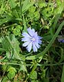 Cichorium intybus (Common Chicory).jpg