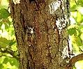Cigale sur tronc de chêne.jpg
