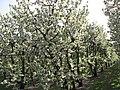 Ciliegi in fiore - panoramio.jpg