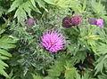 Cirsium japonicum var. ibukiense in Mount Ibuki 2010-07-10.jpg