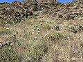 Cirsium neomexicanum 5.jpg