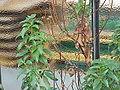 Cistus laurifolius1.jpg