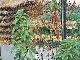 Cistus laurifolius - Image: Cistus laurifolius 1