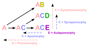Cladogram - Apomorphy in cladistics