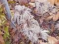Clematis integrifolia0.jpg
