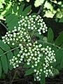 Close-up of rowan flower buds.jpg